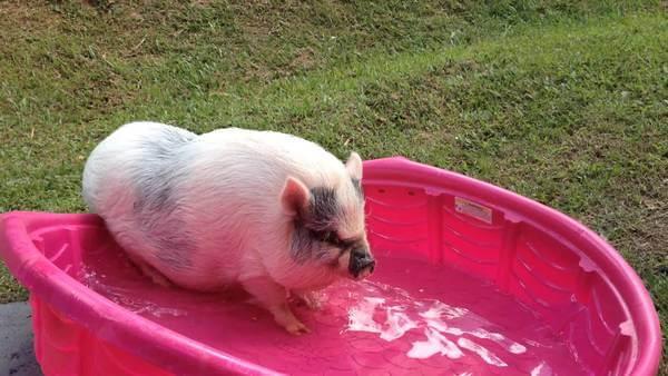 Фото свиней прикольные (149 фотографий хрюшек)