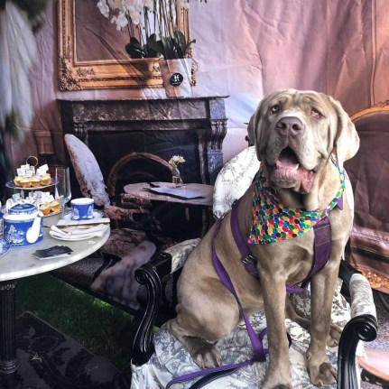 Pooch pampering at The Hughenden in Sydney. Photo: Facebook