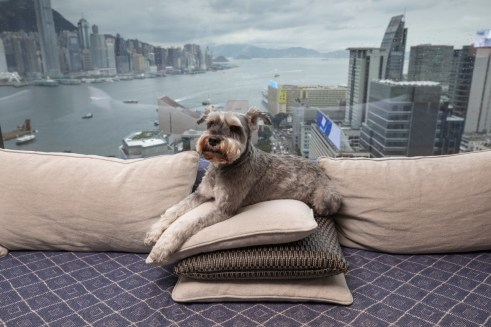 One pampered pet: Colin, a 10-year-old miniature schnauzer, relaxing at the Rosewood Hong Kong hotel in a suite overlooking Victoria Harbour. Luxury hotels have taken pet pampering to a new level. Photo: Antony Dickson