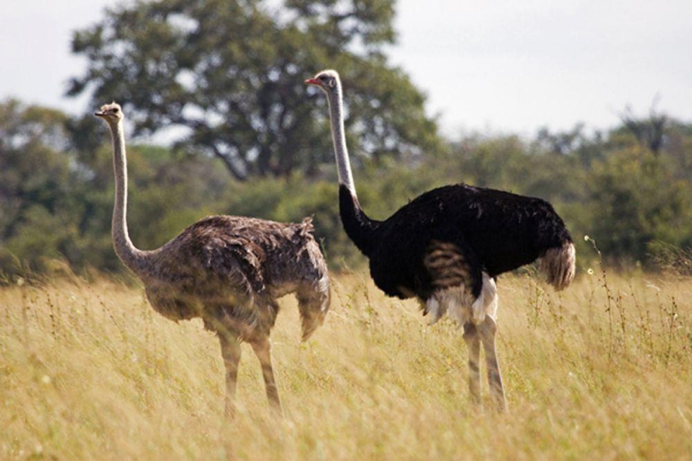 8 Fakta Burung Unta, Burung Terbesar & Pelari Tercepat di Dunia