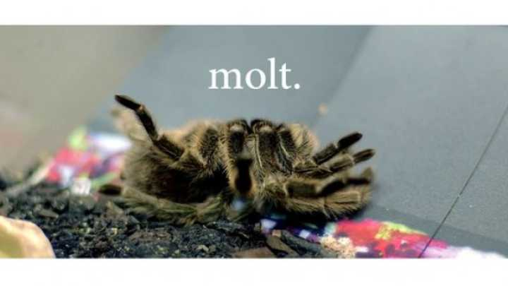 Tarantula Molting Surprisingly Not Terrifying Iflscience