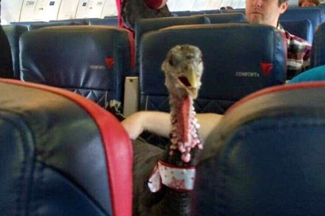 This turkey has taken the internet with storm after boarding a US flight