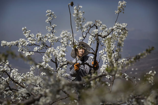 UNSUSTAINABLE: Some Chinese farmers now have to hand pollinate their plants