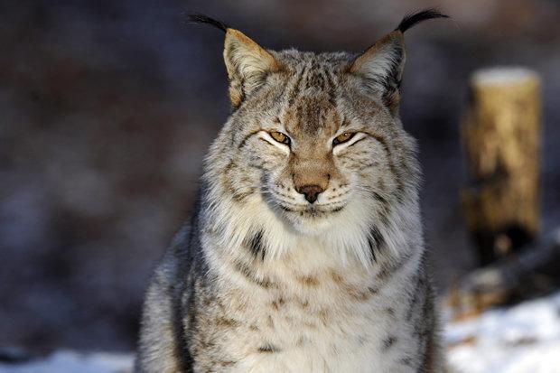 escaped lynx