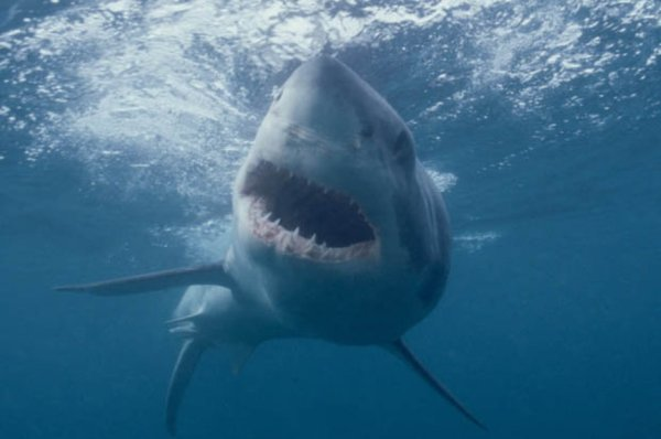 'Great white shark' spotted swimming in waters off ...