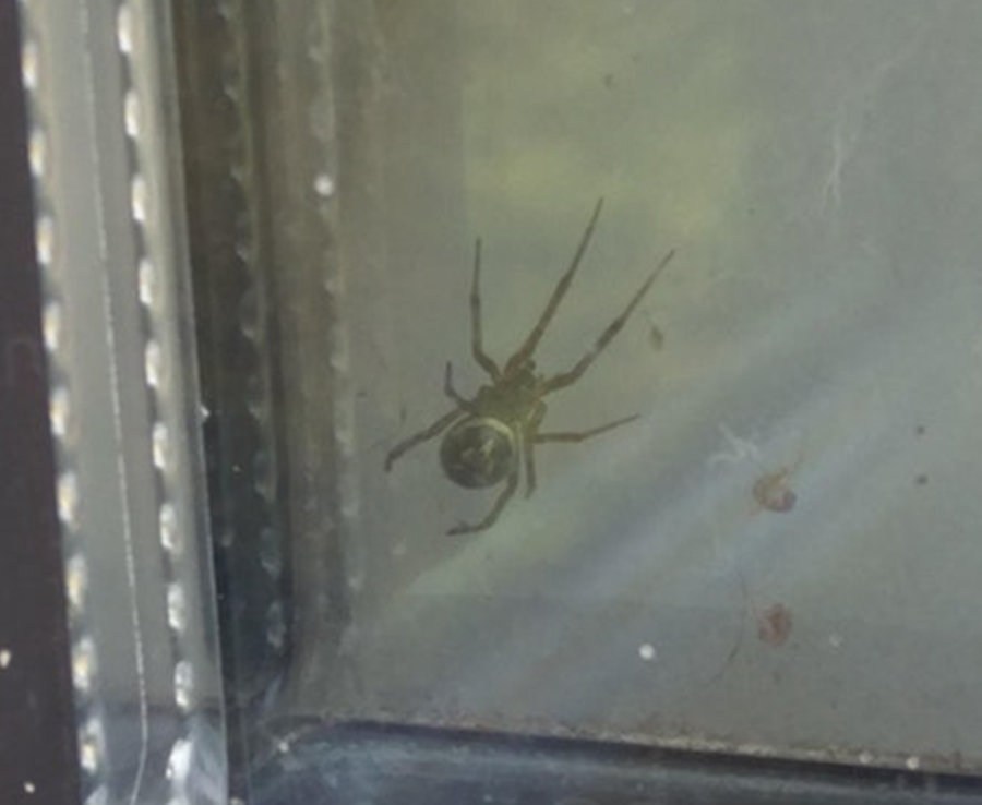 This scary false widow was found in Southwest England, July 2017