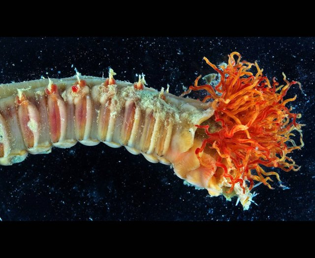 A type of deep sea worm found in the exposed deep sea