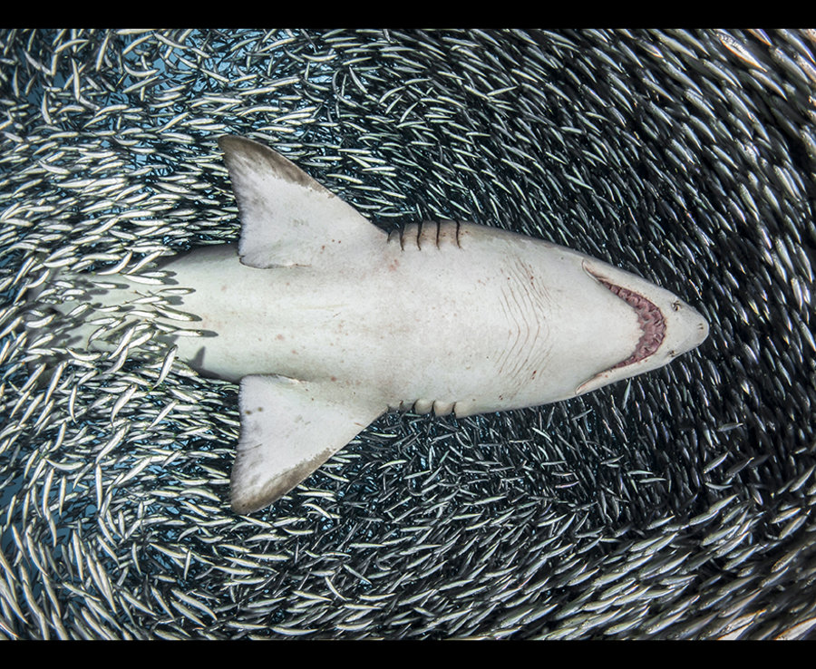 An arresting photo of a Sand Tiger Shark shot from below