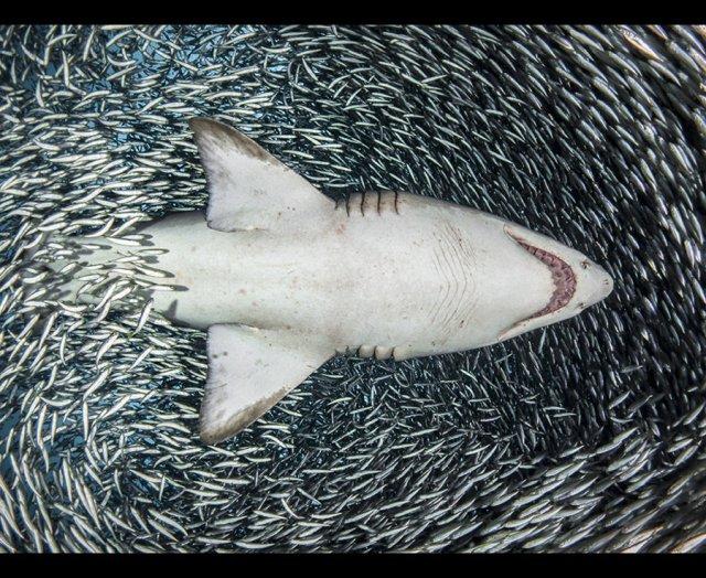 An arresting photo of a Sand Tiger Shark shot from below