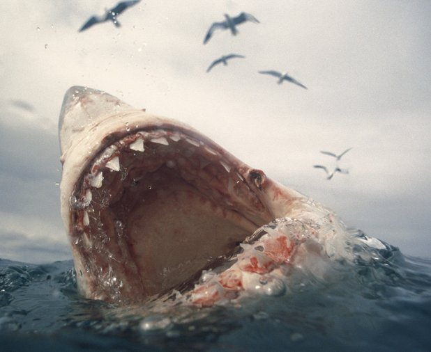 The Carcharocles Megalodon roamed the oceans 2.6 million years ago