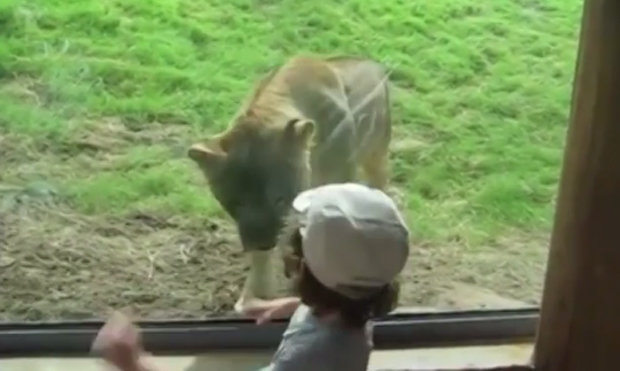 Lion Attack Little Boy Zoo Daily Star