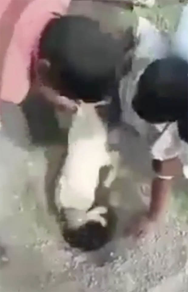 The goat being pulled out