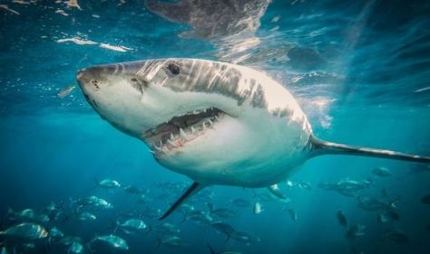 'You never know' Killer great white shark could be patrolling British coast, expert fears