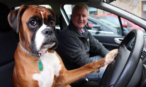 Barking No Fed Up Dog Was Just Honking For Her Owner Uk News Express Co Uk