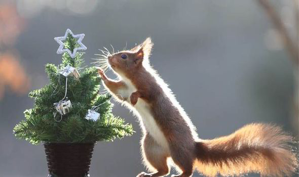 Red Squirrel Gets Early X Mas Present UK News
