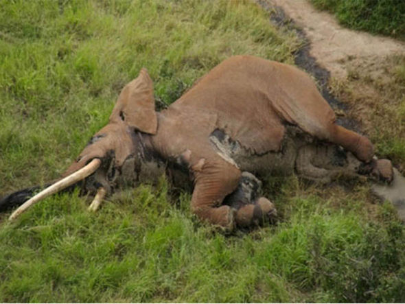 Satao 2 lying dead on the ground