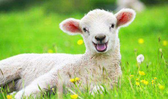 Image result for sheep happy