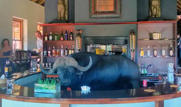 Bulffalo walks into a bar