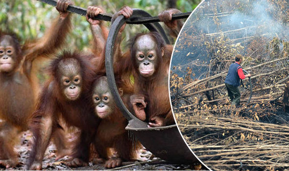 Three rescued baby orangutans
