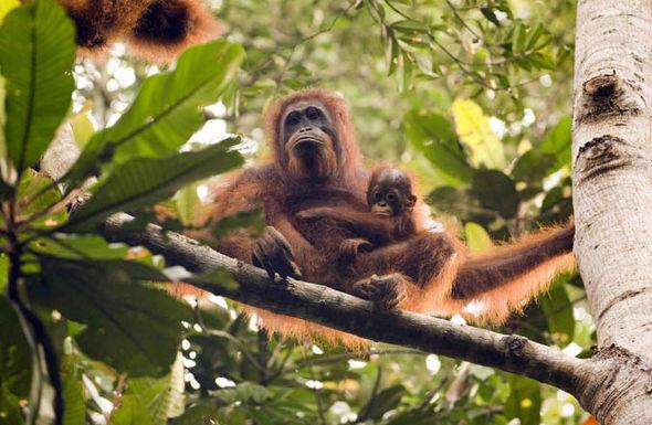 An orangutan mother and child