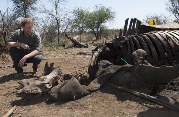 Prince Harry looking a rhino's carcass