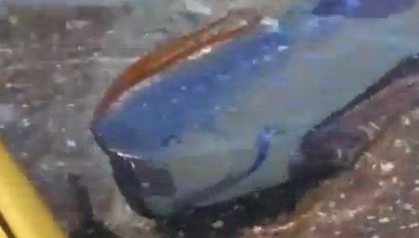 Oarfish4
