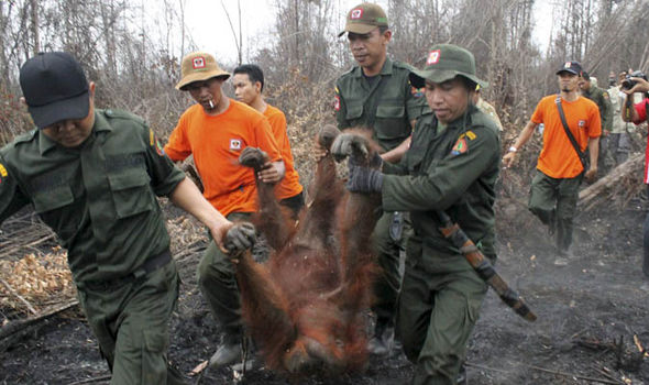 Rescue workers carrying a sedated orangutan