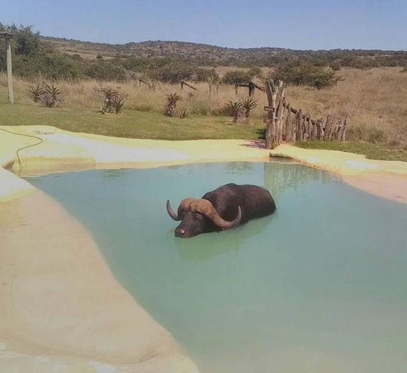 buffalo in a swimming pool