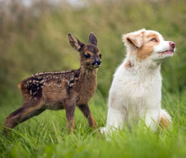 Puppy Lia Playing With Baby Deer Hansi