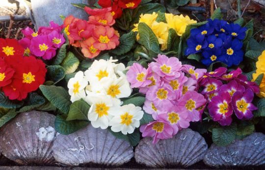 Gardening  The best flowers to get this winter   Express co uk Polyanthus flowers