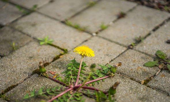 White vinegar weed killer: Dandelions
