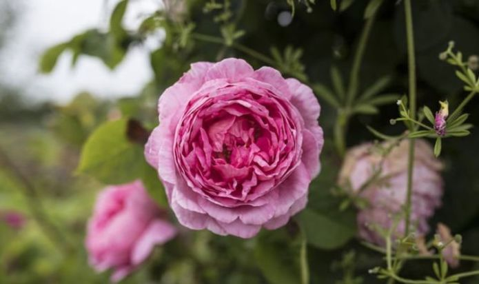 Deadheading peonies: How to CAREFULLY deadhead peonies - step-by-step guide