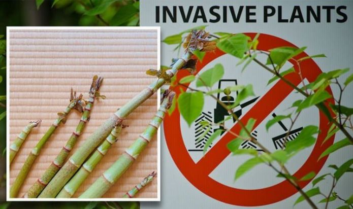 How to kill Japanese knotweed - the 4 key things you MUST know