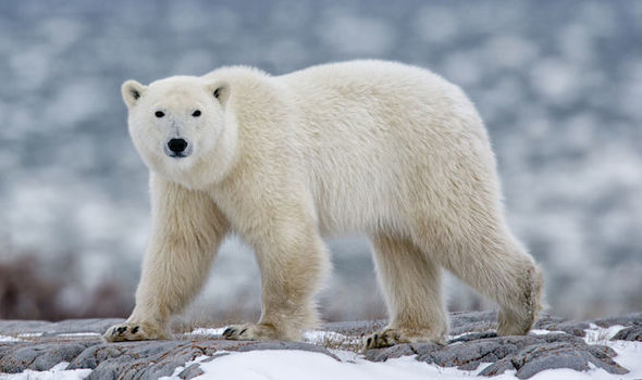 Fury On Twitter After Polar Bear Is Shot Dead Following Attack On Arctic Tour Guide World News Express Co Uk