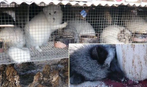 Animals electrocuted, strangled and skinned alive: The true face of China's fur farms