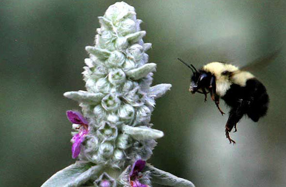 A rusty patched bumblebee also known a Bombus affinis