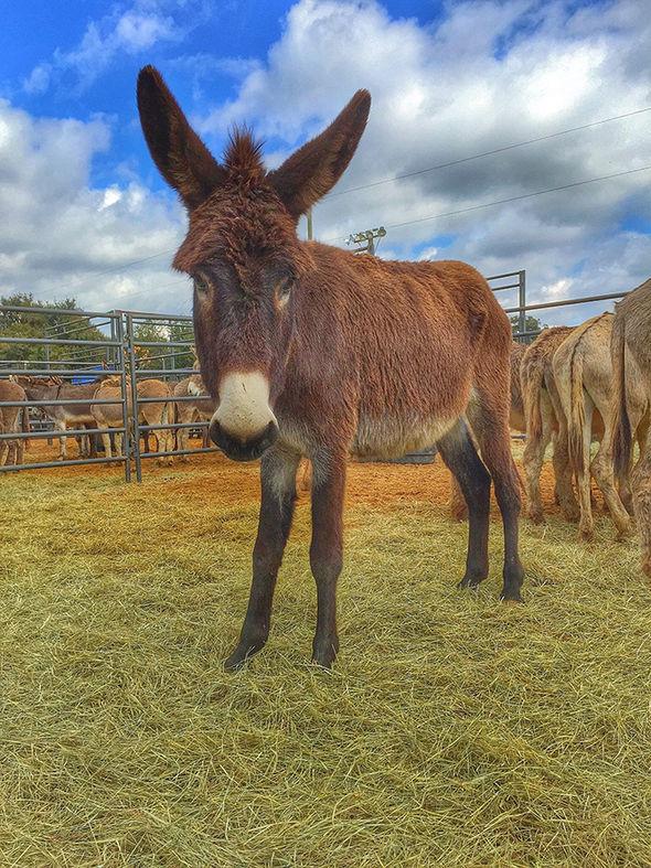 Rabies donkey rape
