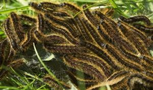 """Invasion of caterpillars: Frightening """"hairy pine"""" spotted in Paris – and heading for the UK    World    News"""