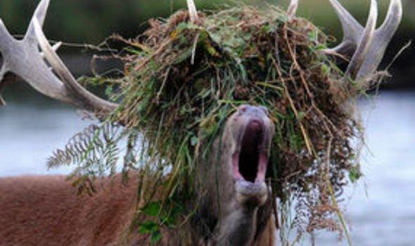 Do You Like My New Wig Deer Weird News