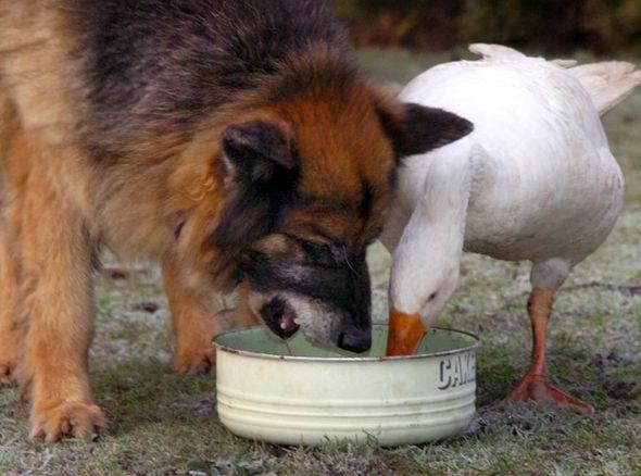 goose, dog, German Shepherd, Rex, Geraldine
