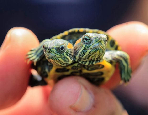 Two-headed turtle born in Jakarta, Indonesia