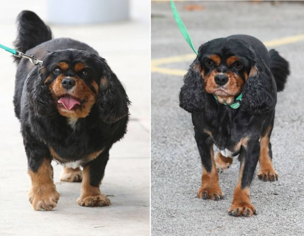 Spaniel named Oscar before and after he shed almost 40% of his bodyweight, as he has won a national pet weight loss contest.