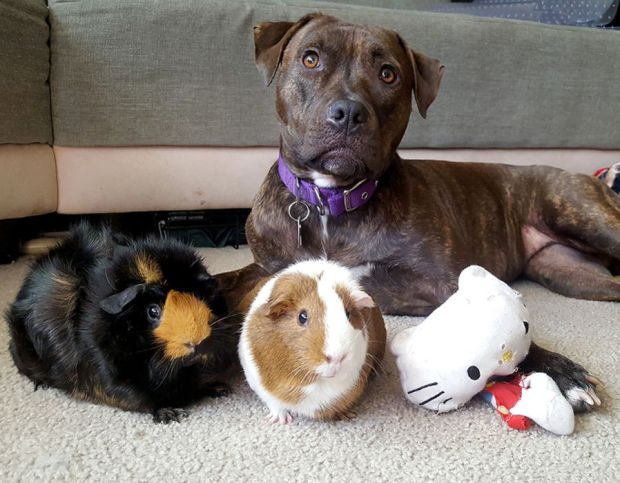 Pitbull loves guinea pigs