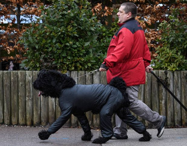 An owner walks with a Portuguese Water Dog