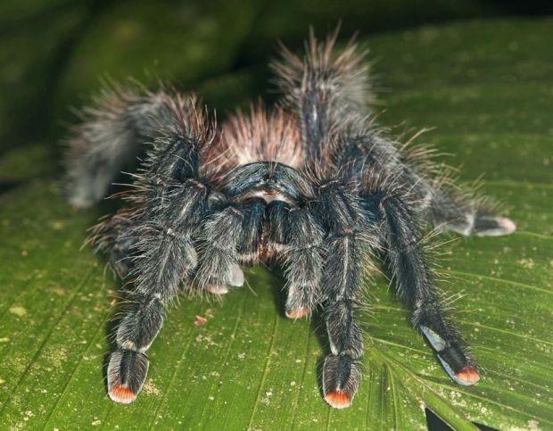 A pinktoe tarantula found in Peru