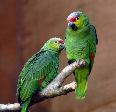 Saint Lucia's best known species is the gorgeous but endangered Amazon parrot. Credit: Steve Wilson/cc by 2.0