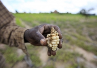 A Zimbabwean subsistence farmer holds a stunted maize cob in his field outside Harare. Credit: FAO