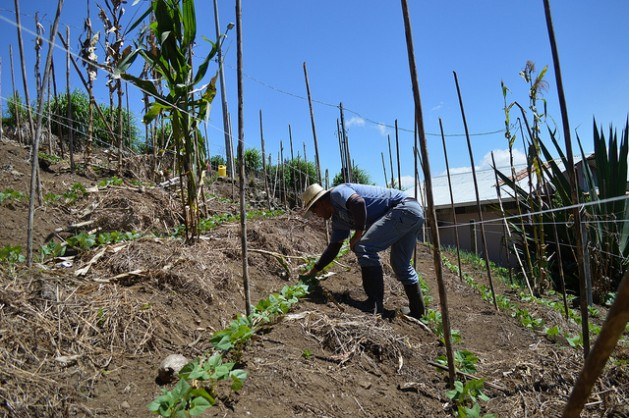José Alberto Chacón weeds between bean plants on his small farm in Pacayas, on the slopes of the Irazú volcano, in Costa Rica. The terraces help control water run-off that would otherwise cause soil erosion. Picture: Diego Arguedas Ortiz/IPS
