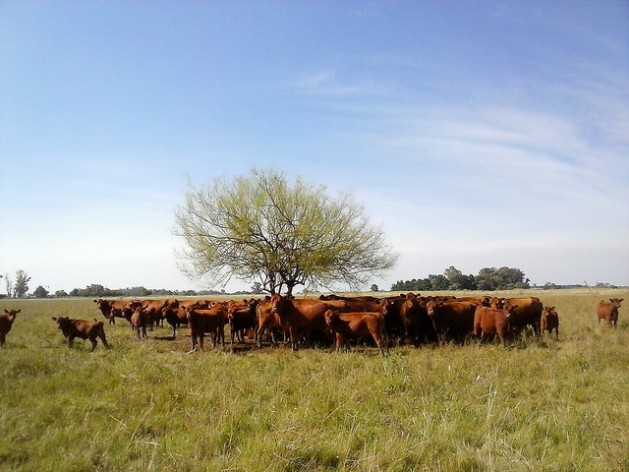 Latin America produces 23 percent of the world's beef, but this flourishing industry shares a large part of the responsibility for the greenhouse gases produced by the region. The photo shows a small herd of cattle seeking shade under the lone tree in their pasture in Argentina's pampas. Credit: Fabiana Frayssinet/IPS
