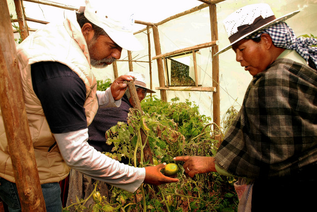 A farmer from Phuyuwasi examines a green tomato in her greenhouse garden, with Remmy Crespo, FAO coordinator in Bolivia's central department of Cochabamba. Credit: Franz Chávez/IPS